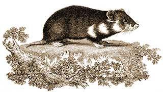 Hamster Rat